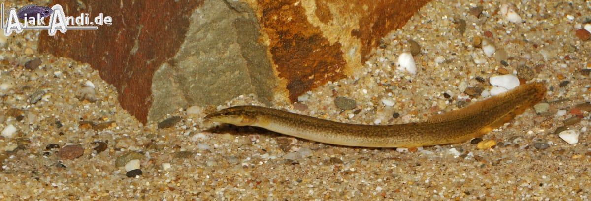 Aethiomastacembelus shiranus – Malawiseeaal 3