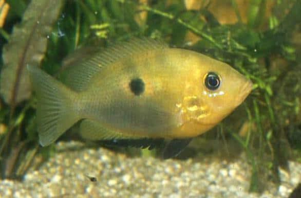 Etroplus maculatus - Indischer Buntbarsch 1