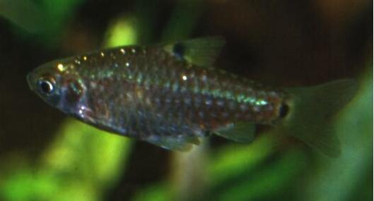 Puntius vittatus - Streifenbarbe 1