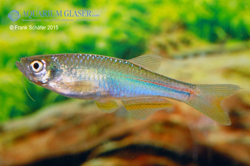Brachydanio albolineatus 1