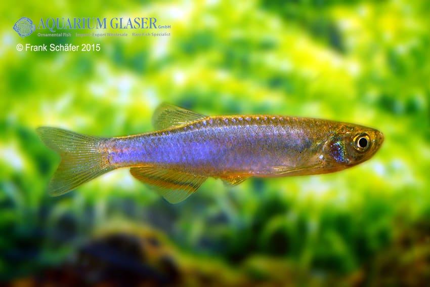 Danio (Brachydanio) roseus 3