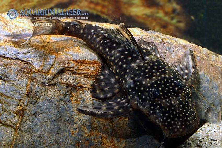 Pseudolithoxus sp. L235 a 5