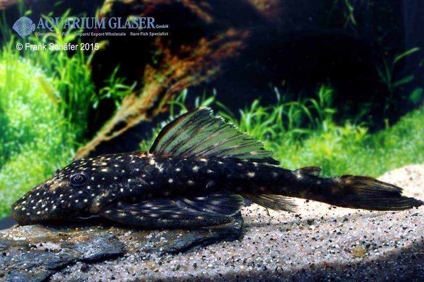 Pseudolithoxus sp. L235 a 7