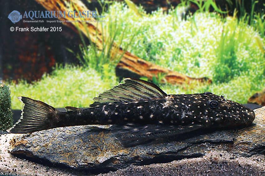 Pseudolithoxus sp. L235 a 8