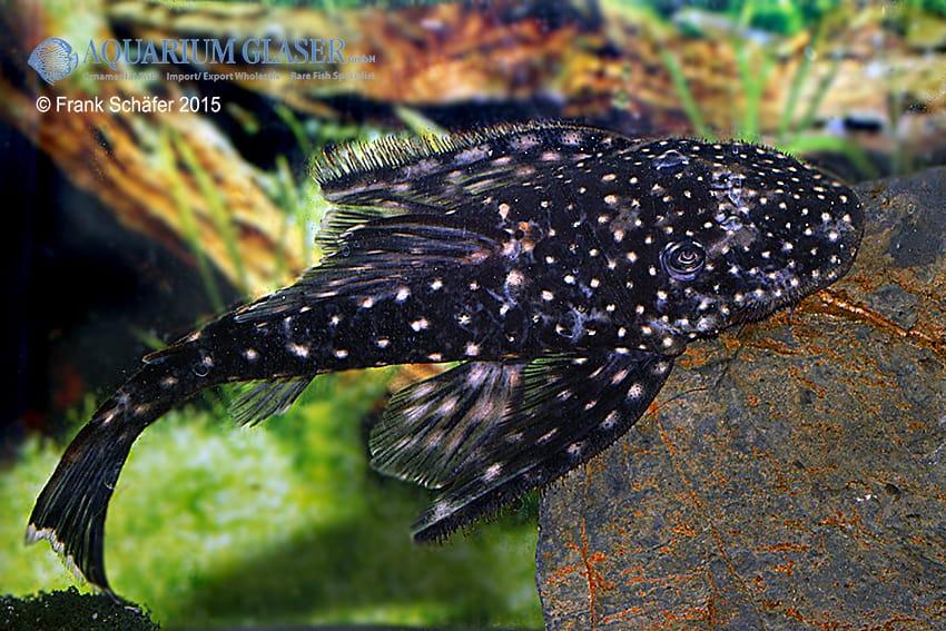 Pseudolithoxus sp. L235 a 9