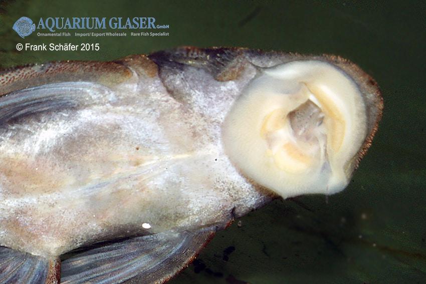Pseudolithoxus sp. L235 a 3