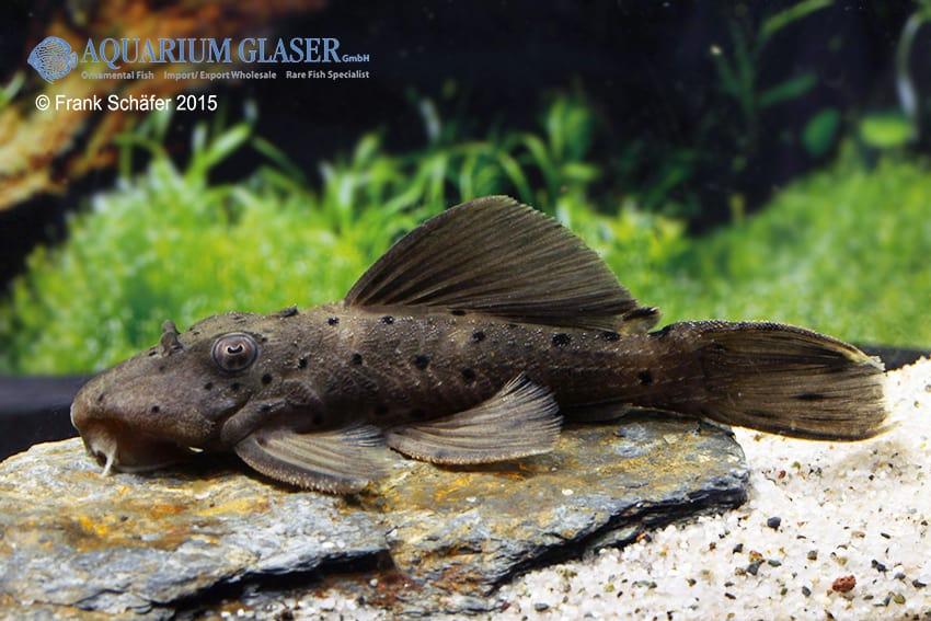 Leporacanthicus sp. L263 2