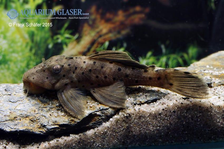 Leporacanthicus sp. L263 1