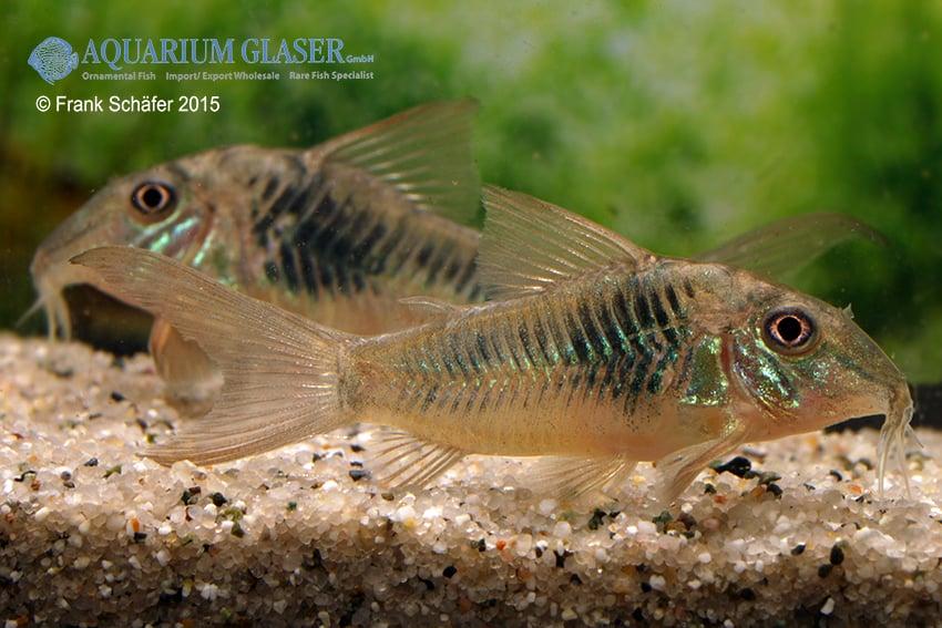 Corydoras septentrionalis 2