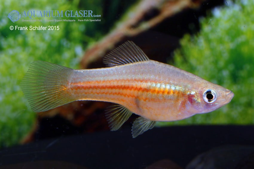 Xiphophorus hellerii Yucatan 1