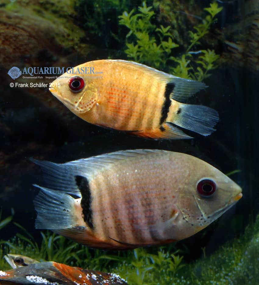 Paar - Quelle: Aquarium Glaser