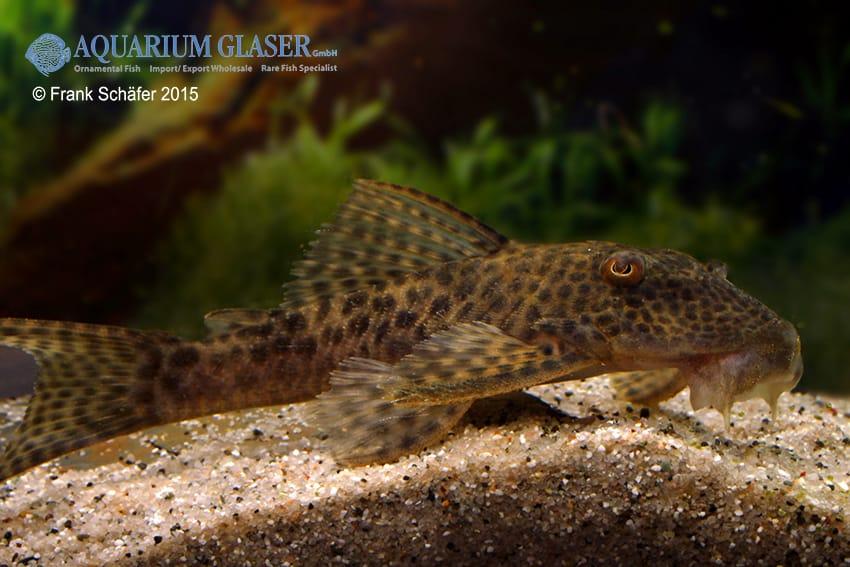 Hypostomus sp. LDA10 3