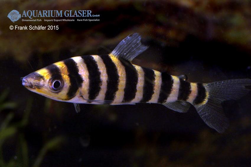Leporinus affinis 3