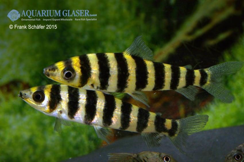 Leporinus affinis 2