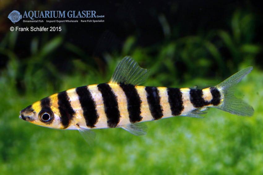 Leporinus affinis 1