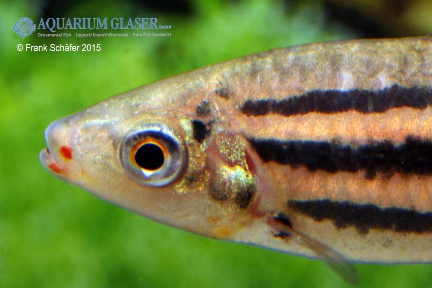 Leporinus arcus - Lippenstift-Leporinus 3