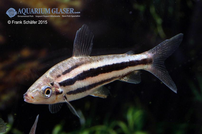 Leporinus arcus - Lippenstift-Leporinus 2