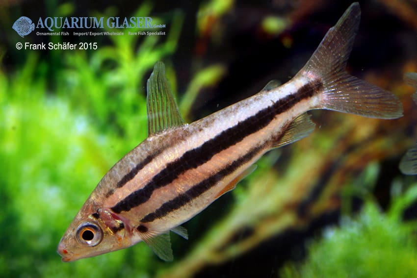 Leporinus arcus - Lippenstift-Leporinus 1