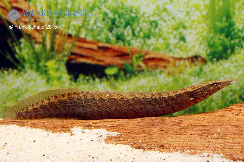 Macrognathus taeniagaster - Chamäleon-Zwergstachelaal 2