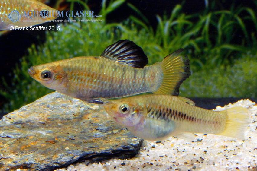 balz - Quelle: Aquarium Glaser