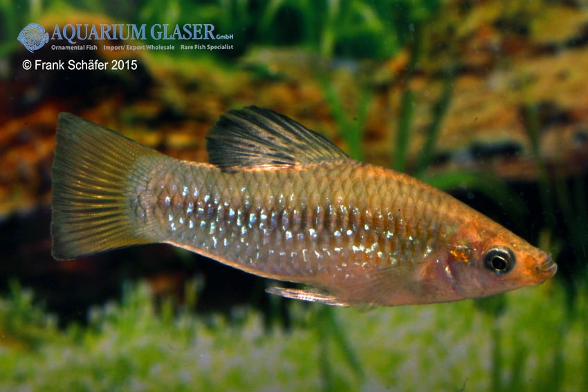 Poecilia (Limia) perugiae 3