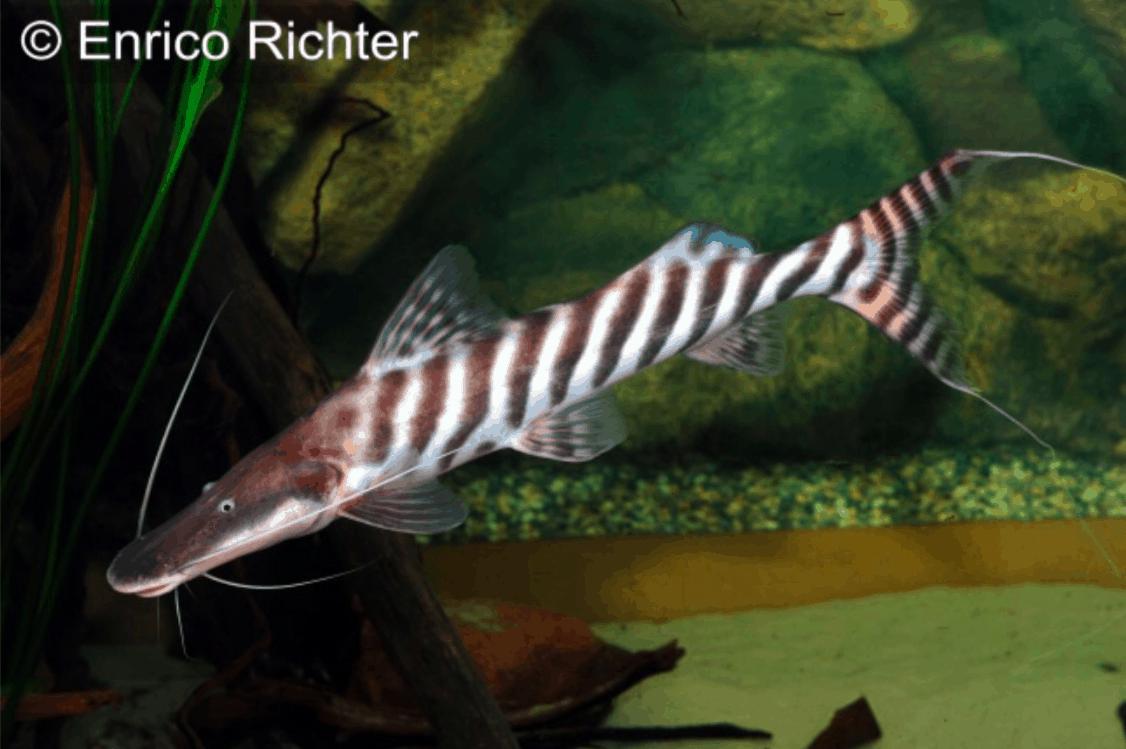 Zebra-Antennenwels (Brachyplatystoma tigrinum), adult Foto: aqua-global Zierfischgroßhandel