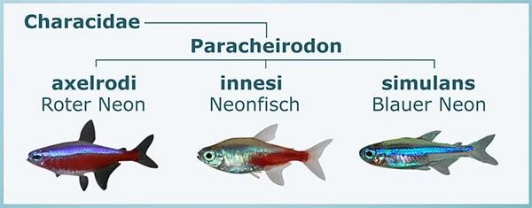 Gattung Paracheirodon