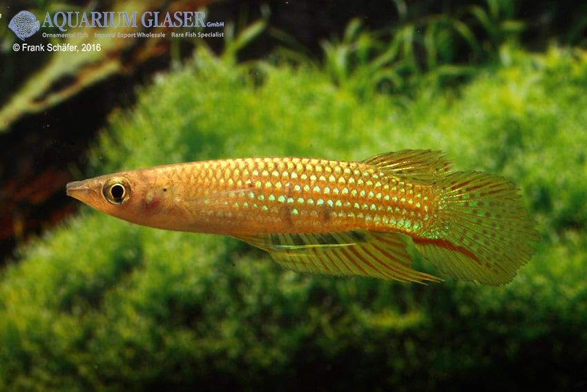 Aplocheilus dayi dayi - Grüner Hechtling 4