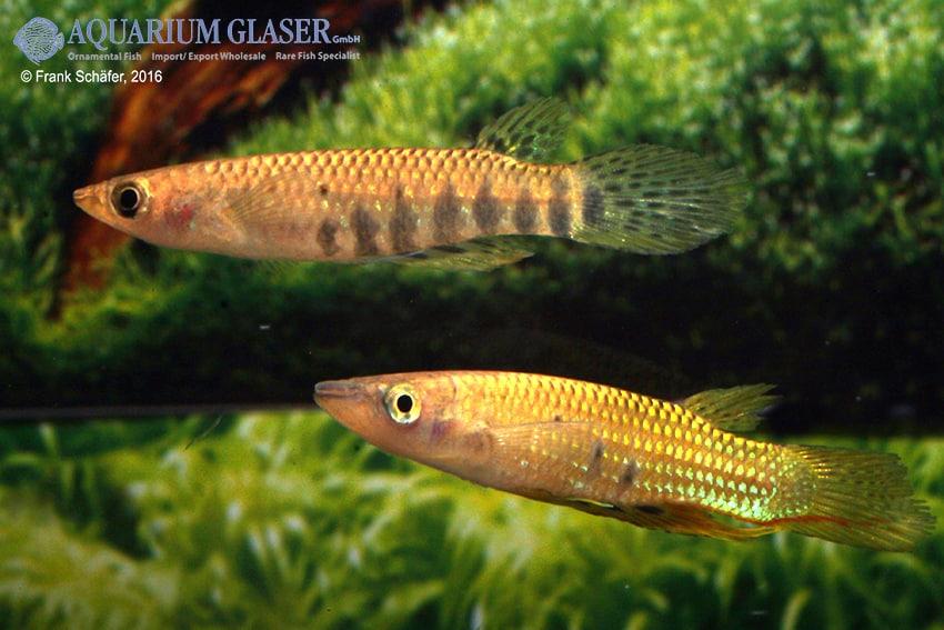 Aplocheilus dayi dayi - Grüner Hechtling 2
