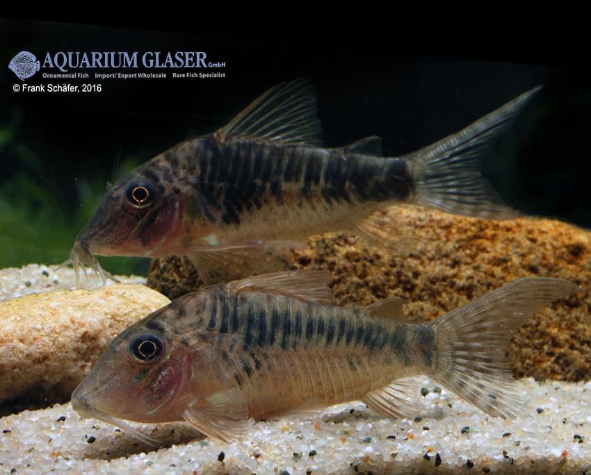 Corydoras sp. Souza, C124 7