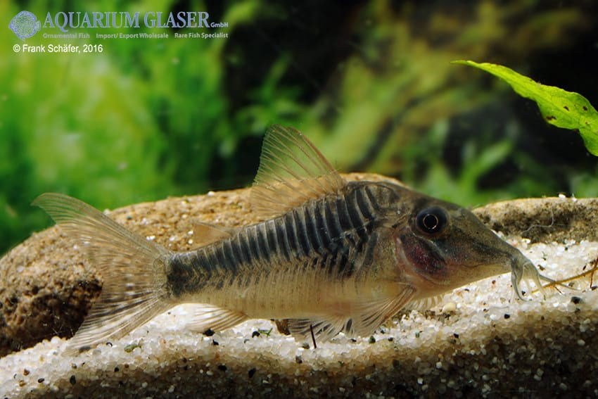 Corydoras sp. Souza, C124 9