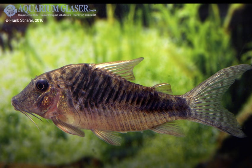 Corydoras sp. Souza, C124 12