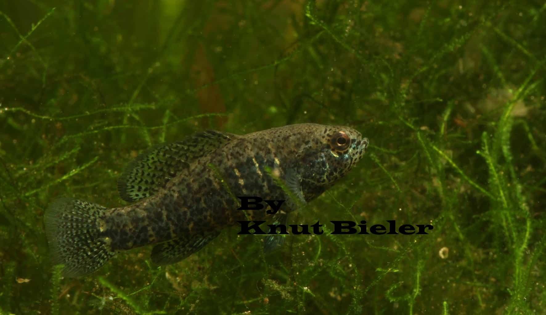 zonatum pic myfish