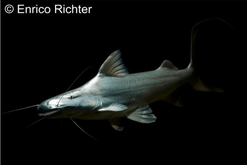 Adult - Quelle: aqua-global - Dr. Jander & Co. OHG