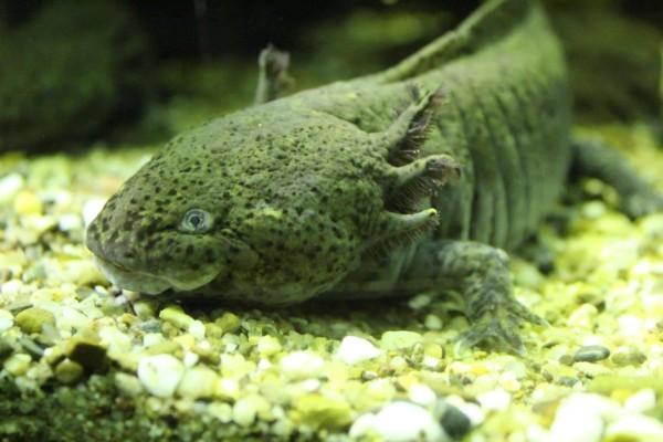 Tetra Aquarium Zoo Osnabruck Axolotl Becken B