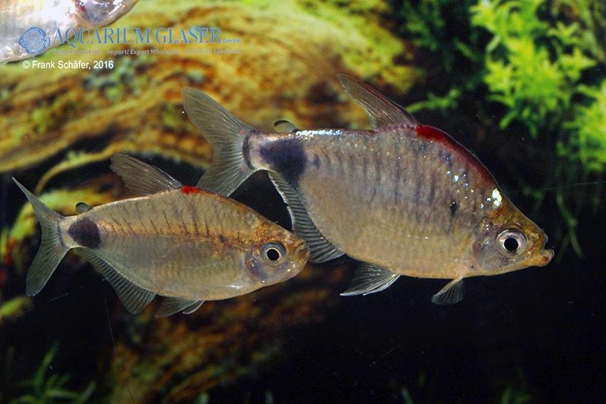 Bathyaethiops caudomaculatus 1
