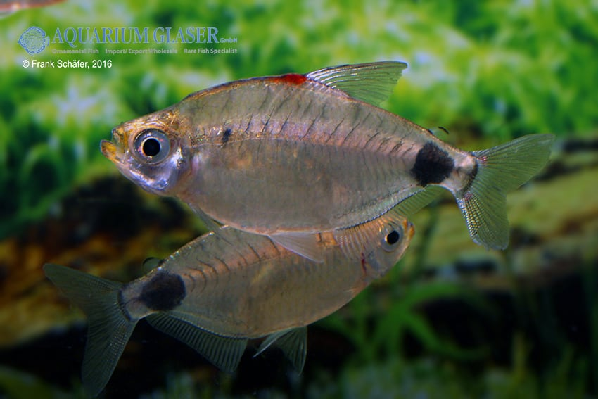 Bathyaethiops caudomaculatus 2