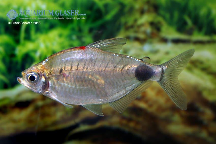 Bathyaethiops caudomaculatus 6