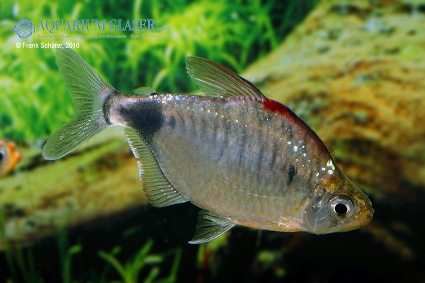 Bathyaethiops caudomaculatus 5