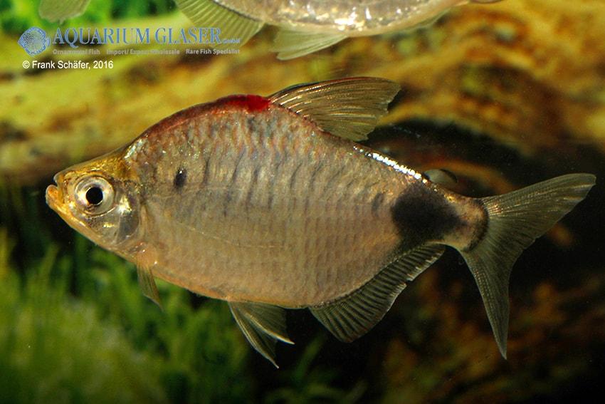Bathyaethiops caudomaculatus 4