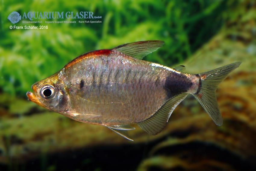Bathyaethiops caudomaculatus 3