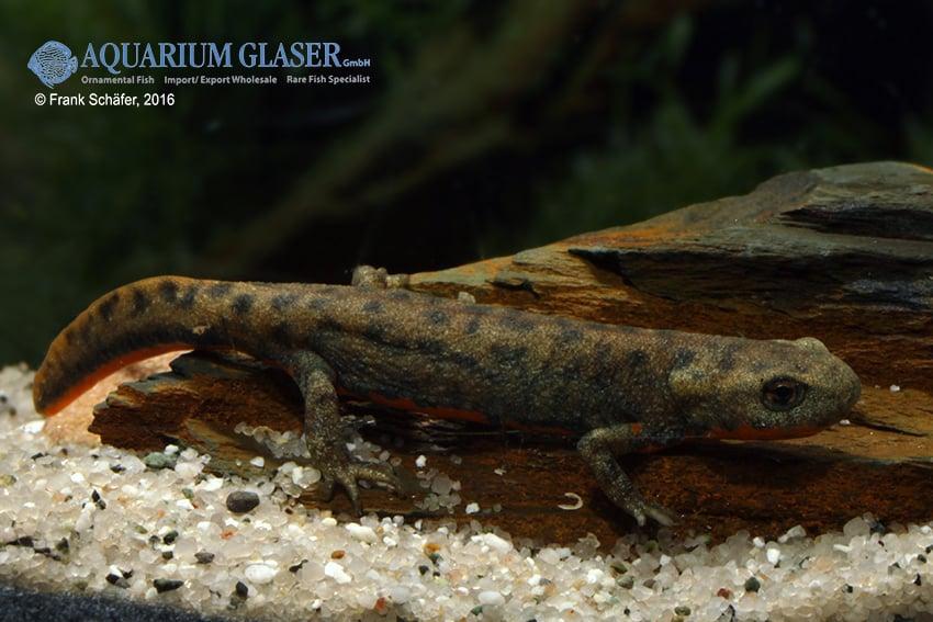 Cynops cf. cyanurus - Feuerbauchmolche 6