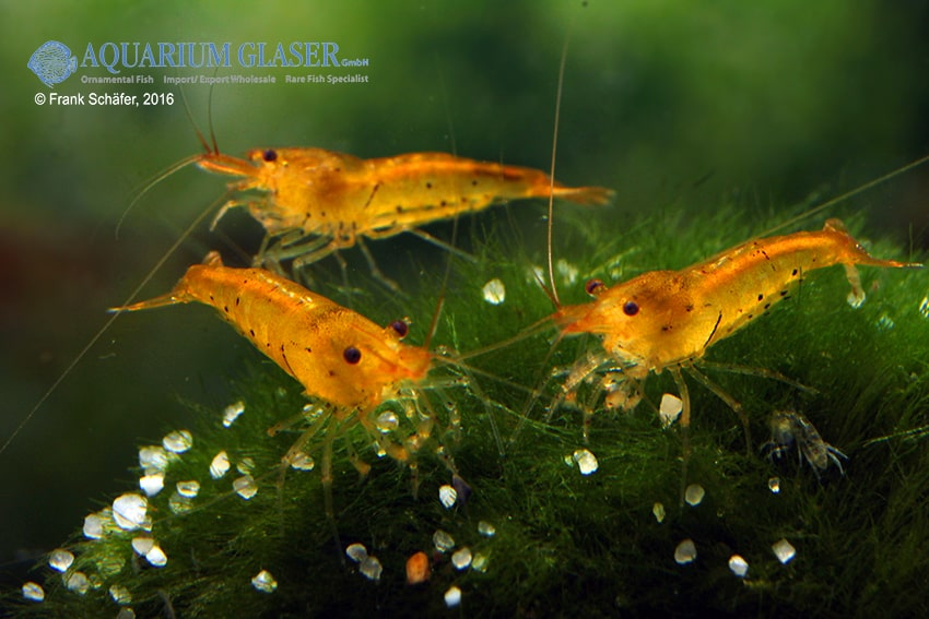 Caridina sp. Golden Tiger 3