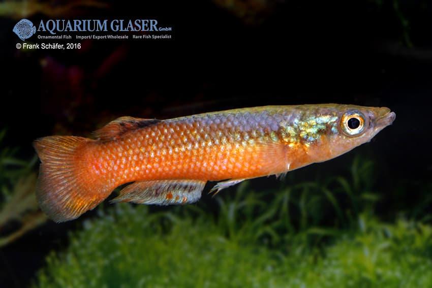 Pachypanchax sakaramyi my fish for Robuste zierfische