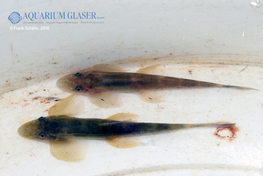 Pseudohomaloptera sp. - Zwergflossensauger 2