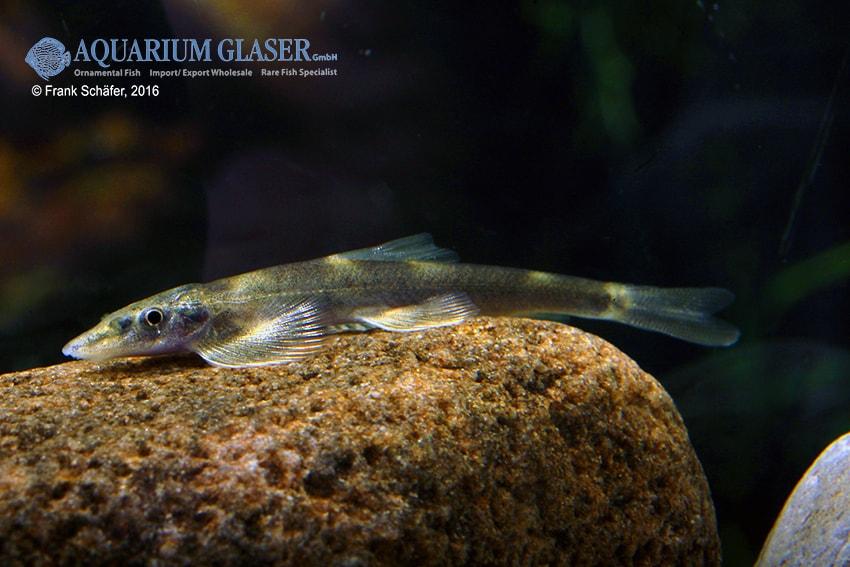 Pseudohomaloptera sp. - Zwergflossensauger 5