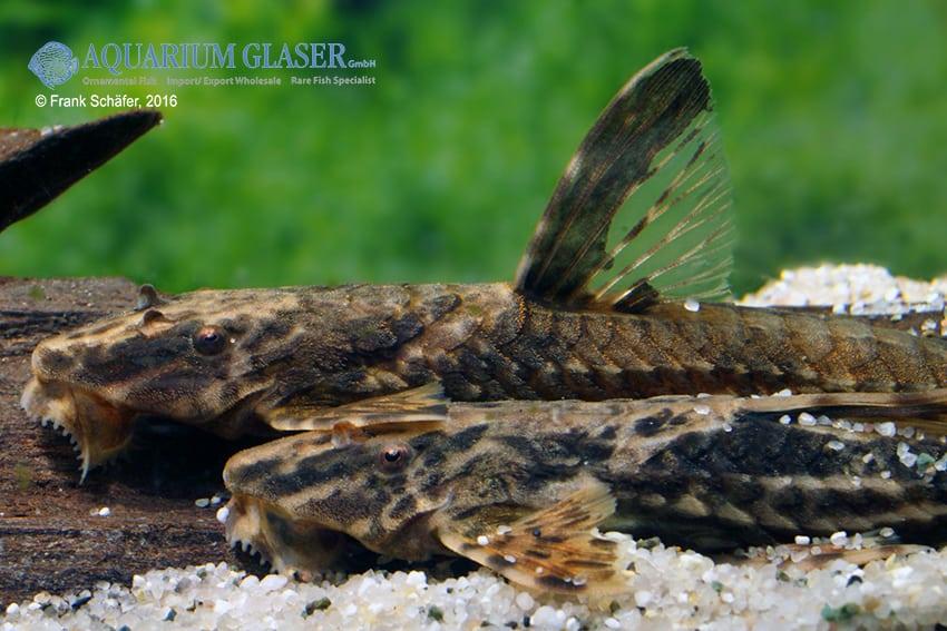 Rineloricaria lanceolata - Hexenwels 7