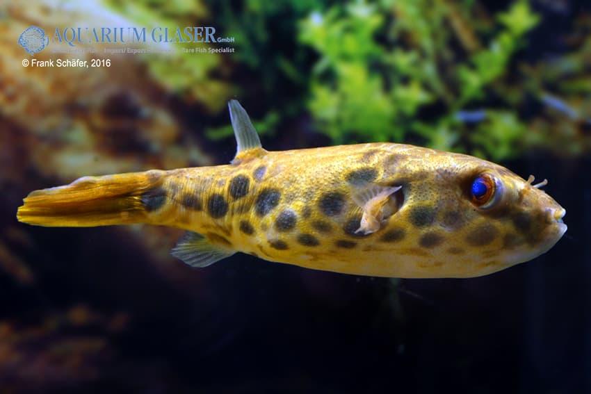 Tetraodon schoutedeni - Leopard-Kugelfisch 3