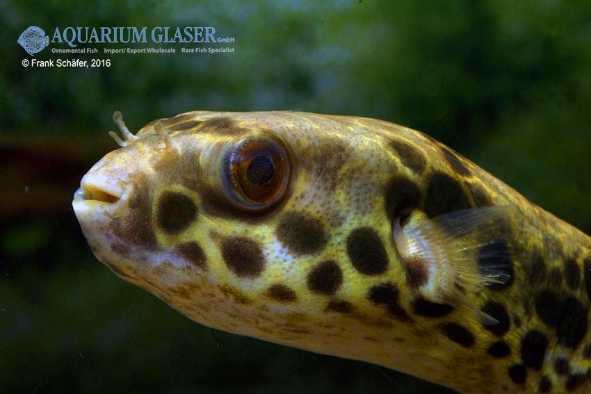 Tetraodon schoutedeni - Leopard-Kugelfisch 2