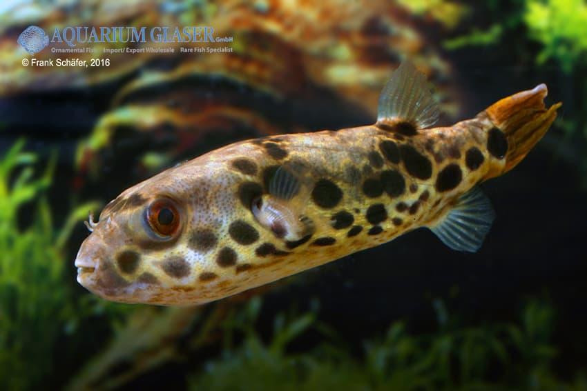 Tetraodon schoutedeni - Leopard-Kugelfisch 4